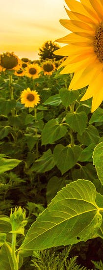 A crop of mature sunflowers at sunset