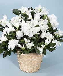 A Blooming Plant of your choice in a woven white basket and finished with a coordinating ribbon. Plant colors will vary.