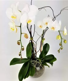 This graceful orchid is accented with the subtle colors and textures of succulents.  Seated in a glass planter filled with layered earth and moss.