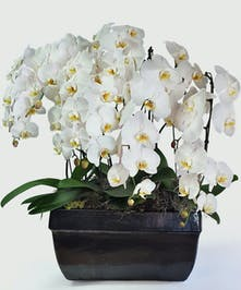 Classic Phalaenopsis, Waterfall orchids displayed in large planter.
