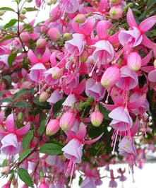Shade-loving fuchsia hanging basket