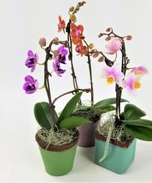Perfect for a desk, this tiny orchid plant adds color and life while being easy to care for and long lasting.  Approximate size is 3