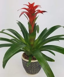 An eye-catching, long-lasting bromeliad in a ceramic container. Bromeliad color and pot may vary.