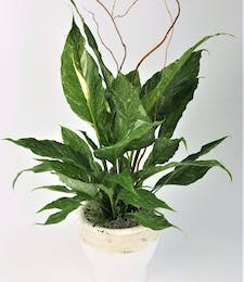 Classic Peace Lily