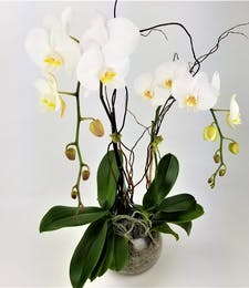 Orchid Natura