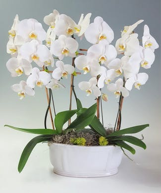 Luxe Orchids